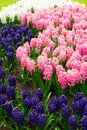 Blue Hyacinth Flowerbed Stock Photography - 107749692