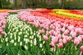 Rows Of Tulip Flowers Stock Photography - 107753742