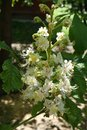 Closeup Of Panicle Of Aesculus Hippocastanum Royalty Free Stock Photo - 107954505