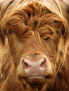 Highland Cow Royalty Free Stock Photography - 1085877