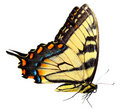 Eastern Tiger Swallowtail Butterfly Royalty Free Stock Photo - 10807405