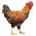 Rooster Royalty Free Stock Photo - 10826375