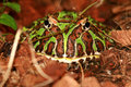 Ornate Horned Frog Stock Photo - 10841540