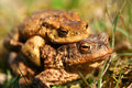 Mating Frogs Stock Image - 10848711