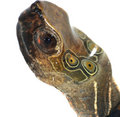 Turtle Head Stock Images - 10849364