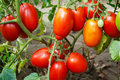 Red Ripe Tomato Stock Images - 10857844