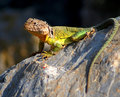 Collared Lizard Royalty Free Stock Photography - 10865497