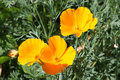 California Poppies Stock Photo - 10867520