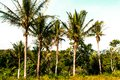 Coconut Palmtrees In Brazilian Tropical Forest Stock Images - 108908354