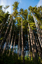Trees Rising High Stock Photography - 10909232