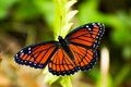 Viceroy Butterfly Stock Image - 10914661
