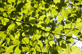 Leaf Of The Beech In The Light Stock Photos - 10919013