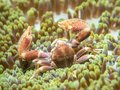 A Crab That Lives With An Anemone Royalty Free Stock Photography - 109177437