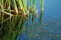 Green Reed In Lake Royalty Free Stock Photo - 10936075