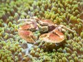 A Crab That Lives With An Anemone Royalty Free Stock Photos - 109351738