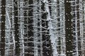 Detail Of Dark Trunks In Dense Snowy Forest In Winter Royalty Free Stock Photo - 109399435
