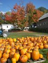 Field Of Pumpkins Royalty Free Stock Photography - 10953057