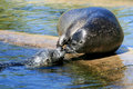 A Couple Of Caressing Seals Royalty Free Stock Photography - 10961457