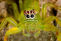 Bright Green Spider Royalty Free Stock Photo - 10985615