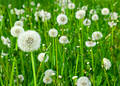 Dandelion Field Royalty Free Stock Image - 119566