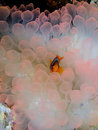 Clark S Anemone Fish Royalty Free Stock Photo - 1100295