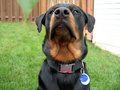Entranced Rottweiler Close Up Stock Photo - 1102000