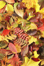Autumn Leaves Royalty Free Stock Photos - 11021138