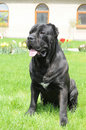 Big Black Dog Sitting On The Grass Stock Images - 11028254