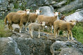 Sheeps Royalty Free Stock Images - 11031799