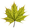 Spring Maple Leaf Stock Image - 11035721