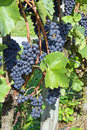 Blue Grapes Royalty Free Stock Photography - 11066977