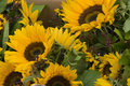 Sunflowers For Sale Royalty Free Stock Images - 11096009