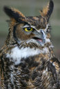 Great Horned Owl Stock Images - 1112314