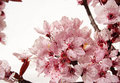 Cherry Blossom Royalty Free Stock Image - 1116476