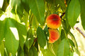 Peaches On A Tree Royalty Free Stock Images - 11118229