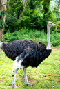 Ostrich Stock Photography - 11139052