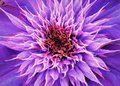 Close Up Of Center Multi Blue Clematis Flower Stock Image - 111572291