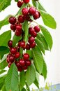 Cherries Hanging On A Cherry Tree Branch. Stock Photography - 111574662