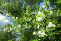 Apple Tree Royalty Free Stock Images - 11168069
