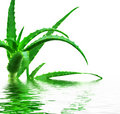 Aloe Vera Stock Photo - 11170210