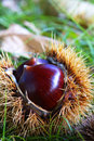 Chestnut Royalty Free Stock Image - 11170656