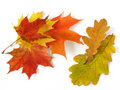 Oak And Maple Leaves Royalty Free Stock Images - 11190039