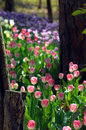 Amid A Tulip Trail Royalty Free Stock Photography - 11198847