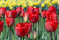 Dutch Tulips Royalty Free Stock Images - 1124149