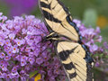 Eastern Tiger Swallowtail Butterfly Royalty Free Stock Images - 11205999