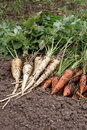 Carrots And Parsnip Stock Photography - 11209282