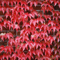 Red Ivy Royalty Free Stock Photos - 11209648