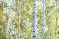 Beautiful Birches In Forest In Autumn Royalty Free Stock Photography - 112105407