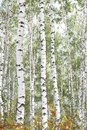 Beautiful Birches In Forest In Autumn Stock Photo - 112106120