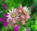 Flower Of Houseleek (sempervivum). Stock Photography - 11221952